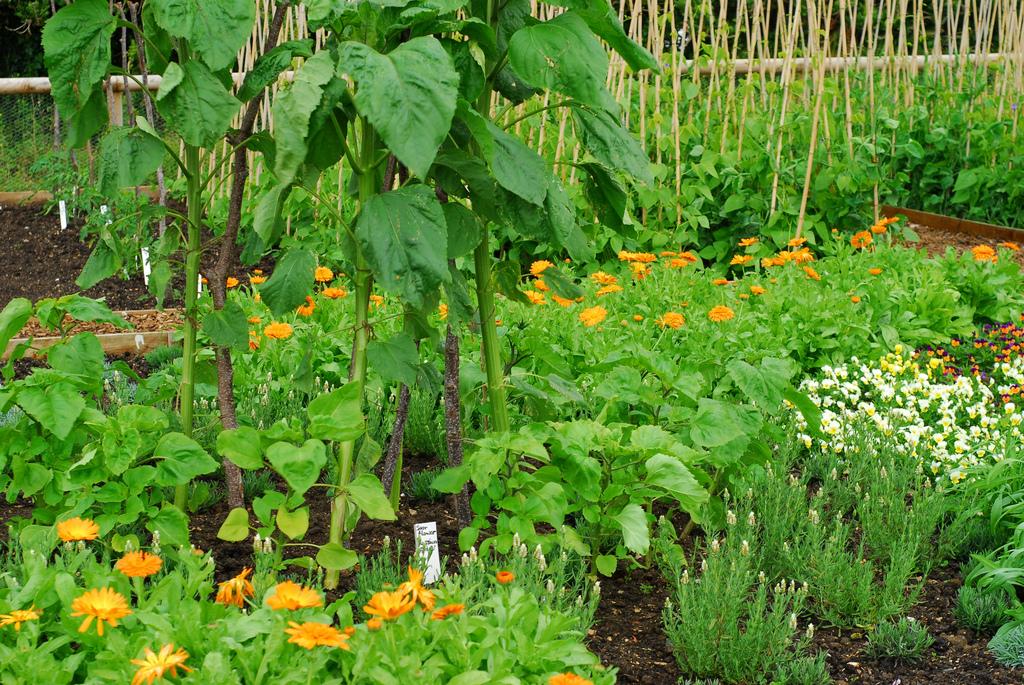 Что сажают в огороде цветы 883