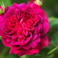 rose-William-Shakespeare-2000