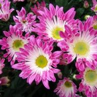 Хризантема многолетняя осенняя