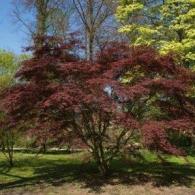Acer palmatum Burgundy Lace