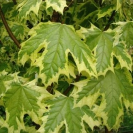 acer platanoides silver variegated maple