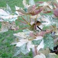 Acer pseudoplatanus Leopoldii