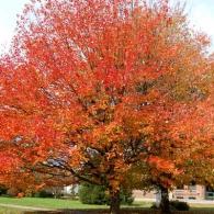 October-Glory-Maple