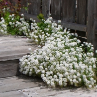 алисум белый