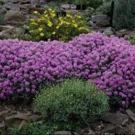 лиловый алиссум на альпийской горке