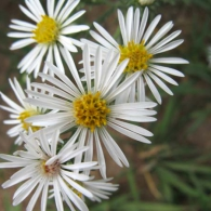 smooth-white-aster-flower