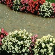 begonia in landscape