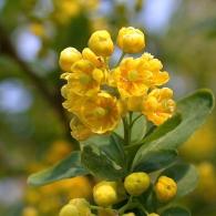 Berberis.vulgaris