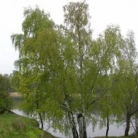 фото крона дерева_береза повислая