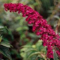 буддлея_фото 'Royal Red'