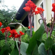 Канна индийская в саду_фото