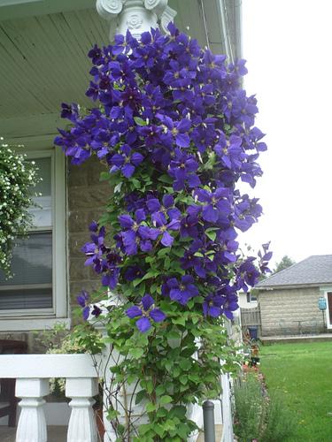 Более крупные цветы и сильные
