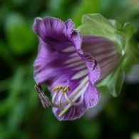 кобея фиолетовая