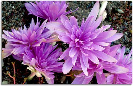 цветок безвременник фото: