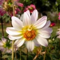 dahlia-flower-