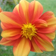 striped-dahlia-flower