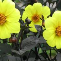yellow-dahlia-flowers