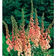 Graines_Digitalis_Purpurea_Apricot_Seeds_Foxglove_Digitale