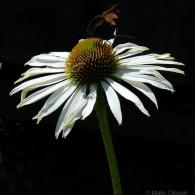 Echinacea purpurea_photo