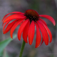 Echinacea purpurea_photo