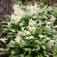 Эриотрониум калифорнийский 'White Beauty'