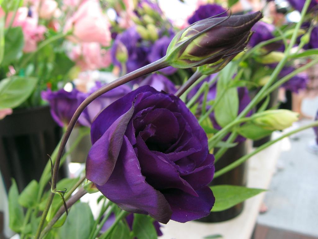 Фиолетовые цветы как называются