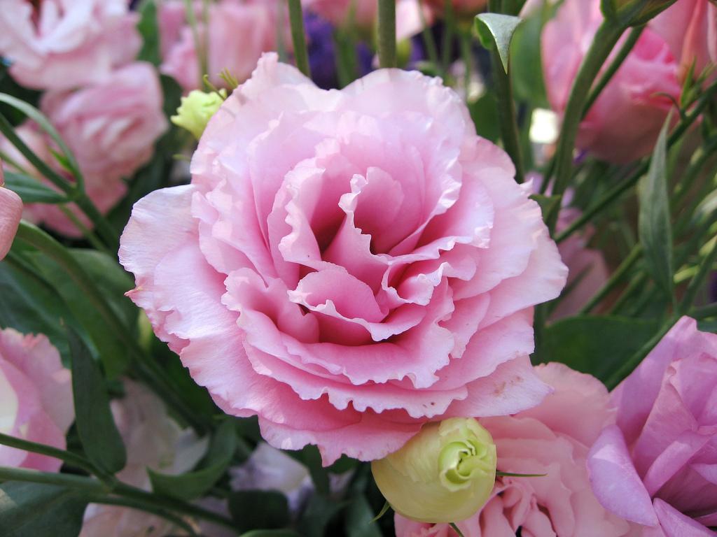 цветы эустома  и описание