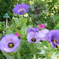 эустома в саду