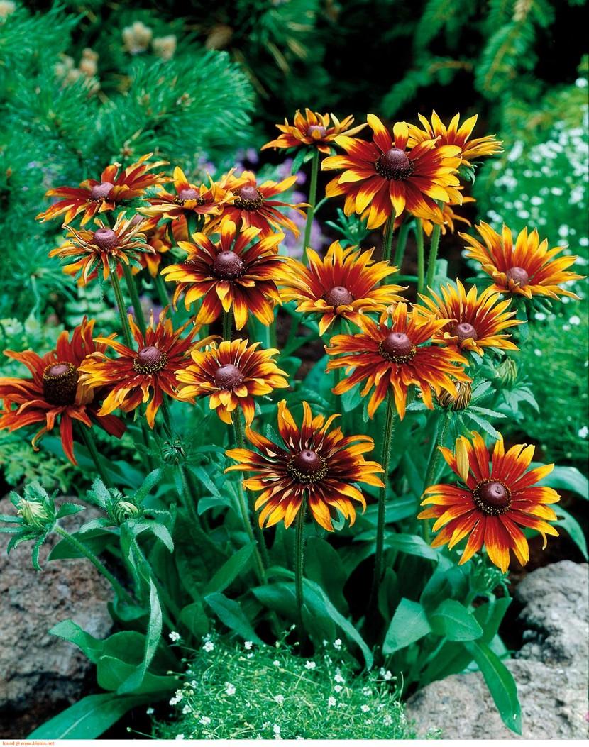 Цветы рудбекия цветов