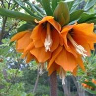 fritillaria-imperialis