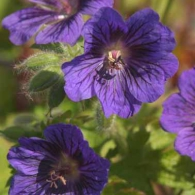 Geranium 'Blue Blood'_фото