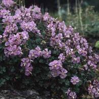 Geranium dalmaticum_фото