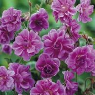 Geranium himalayense 'Birch Double'_фото