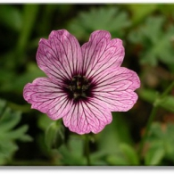 _geranium cinereum Lawrence Flatman_фото