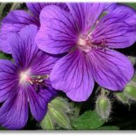 _geranium x magnificum_фото