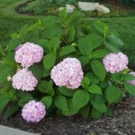 Hydrangea_macrophylla_AllSummerBeauty
