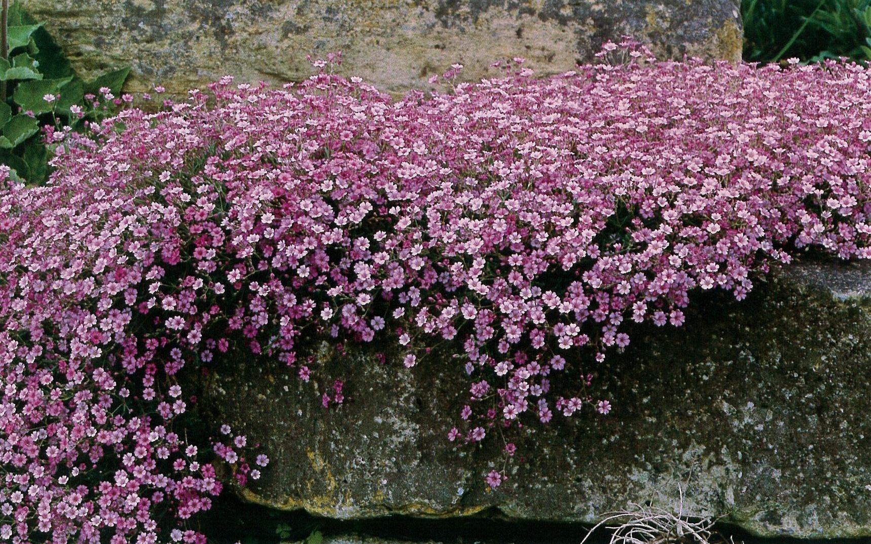 Гипсофила: посадка и уход, выращивание из семян 6
