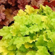 Heuchera_Lime_Rickey