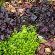 heuchera-obsidian-with-sedum-angelina-nov-14-07