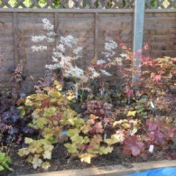 japanese_maples_and_heuchera_bed