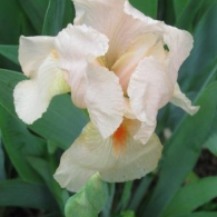 Annieinaustin, 3,25, peach iris