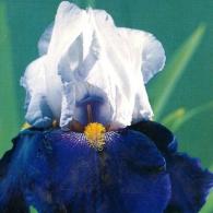 BULB-Bearded_Iris-Night_Edition