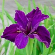 iris-anna-it