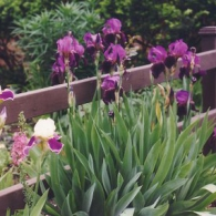Bearded iris, IL front fence