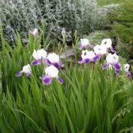 bearded-iris2