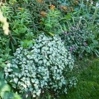 Lamium maculatum 'Beacon Silver' RS