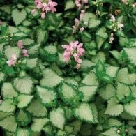 Lamium_maculatum_pink_chablis_lg