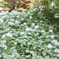 _lamium_white_nancy