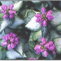 lamium_Purple_Dragon