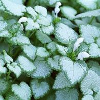 lamium_maculatum_white_nancy